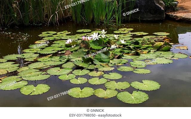 White and Pink Flowers of Nymphaea Lotus in Chonburi Province of Thailand