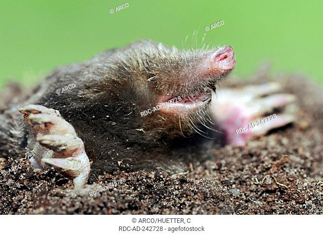 European Mole North Rhine-Westphalia Germany Talpa europaea