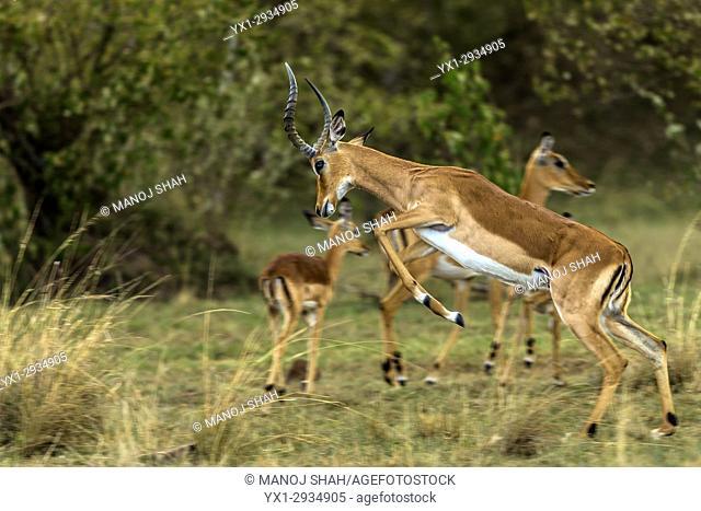 Male impala running with a jump. Masai Mara National Reserve, Kenya