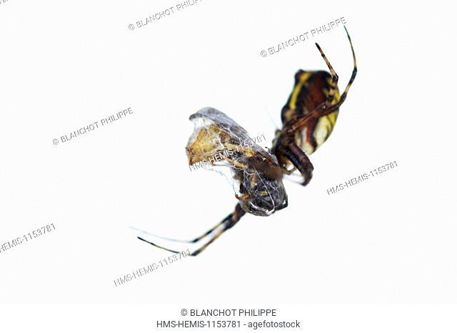 France, Araneae, Araneidae, Wasp spider (Argiope bruennichi) with its prey, a wasp
