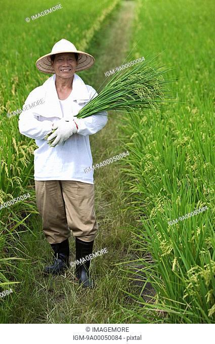 Elderly farmer holding rice plants standing in rice field