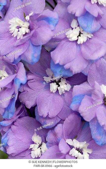 Delphinium, Delphinium elatum, Purple coloured flowers growing outdoor