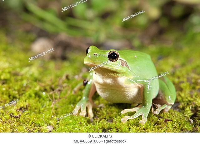 Stripeless tree frog, Hyla meridionalis