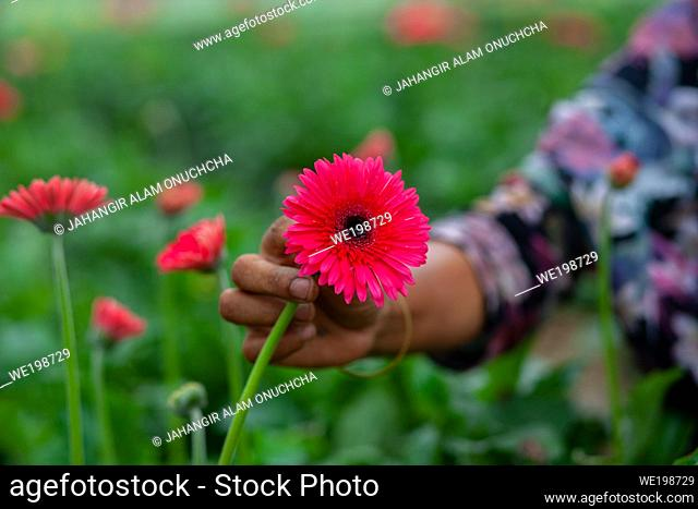 A hand collecting magenta color gerbera flower on green nature background