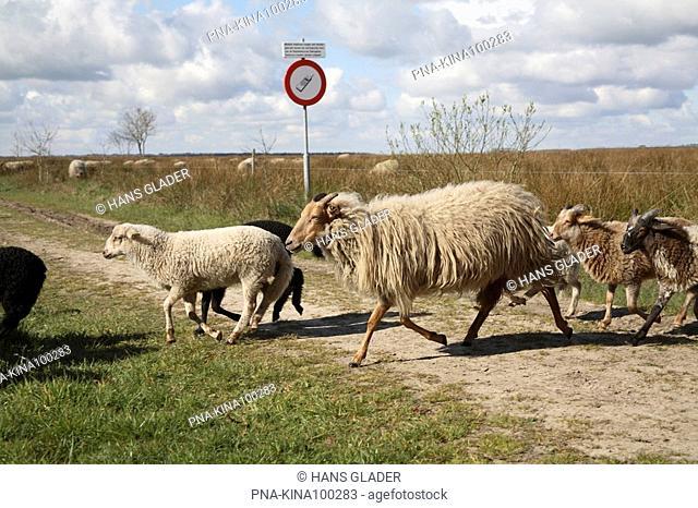 sheep Ovis domesticus - National Park Dwingelderveld, Dwingelose Heide, Dwingeloo, Drenthe, The Netherlands, Holland, Europe