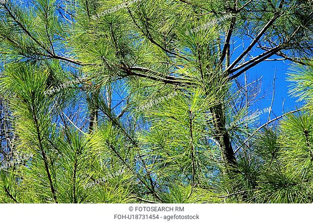 evergreen, white, conifer, tree, pine, eastern