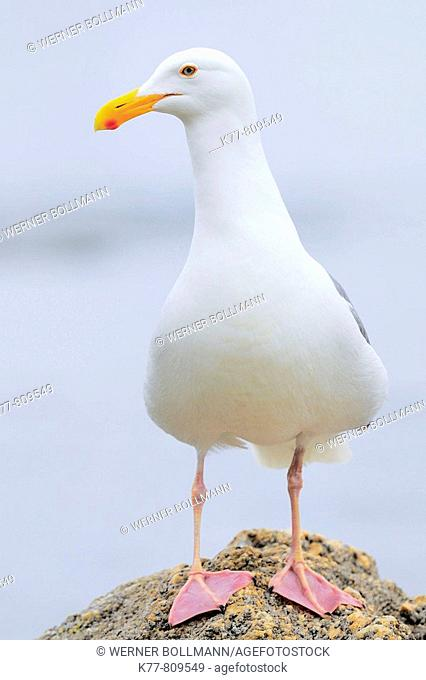 Western Gull (Larus occidentalis), Breeding Adult. Monterey, California, USA