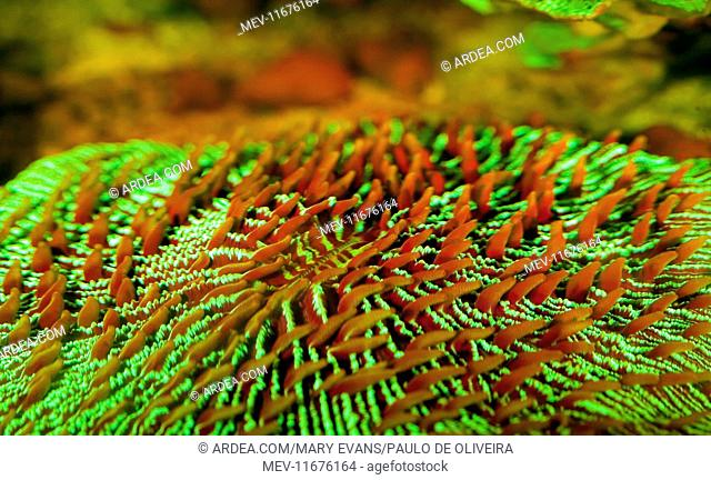 Common Mushroom Coral showing fluorescent colors when photographed under special blue light and filter from Indo-Pacific Ocean photographed in aquarium