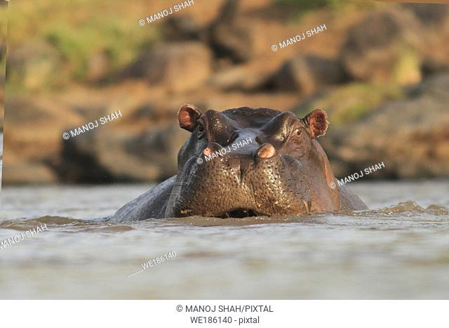 Eye level view of Hippo in water in Maasai Mara National Reserve