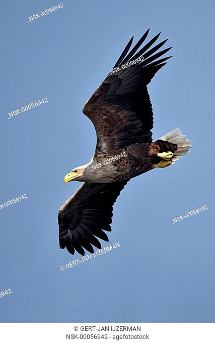 White-tailed Eagle (Haliaeetus albicilla) in flight and diving, Poland, Oderdelta