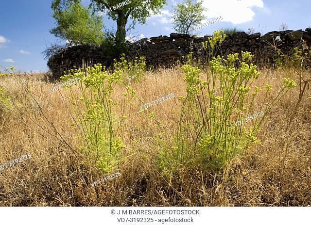 Mountain rue (Ruta montana) is a medicinal and toxic perennial shrub native to Iberian Peninsula, Greece, north Africa and western Turkey