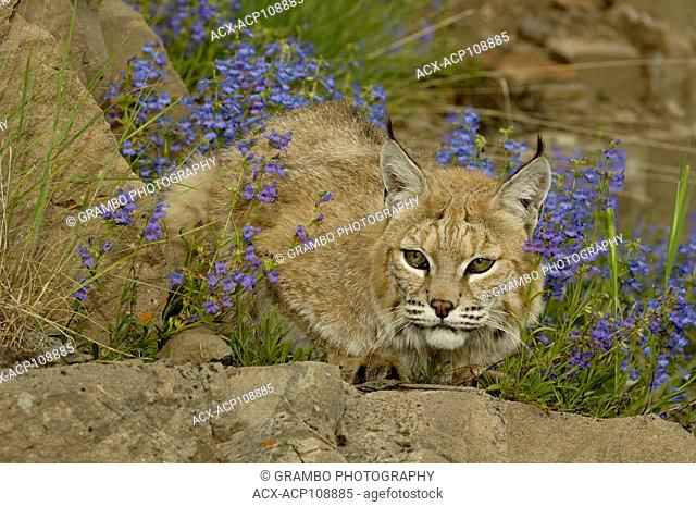 Bobcat, Felis rufus, on rocky ledge with blue wildflowers, Montana, USA