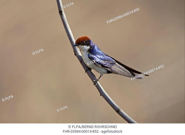 Wire-tailed Swallow Hirundo smithii adult, perched on twig, Kanha N P , Madhya Pradesh, India