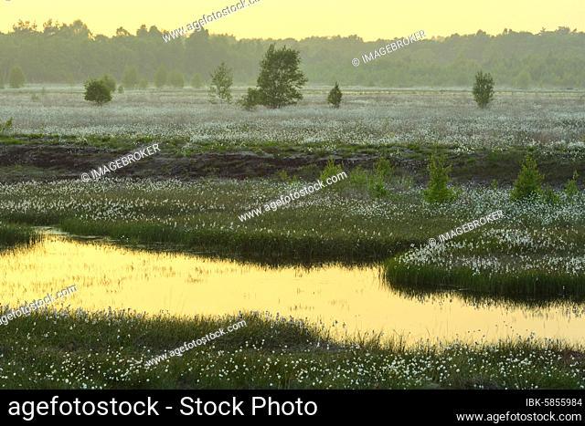 Sunset in a moor with fruiting cotton grass (Eriophorum vaginatum) in spring, Oldenburger Münsterland, Goldenstedter Moor, Goldenstedt, Lower Saxony, Germany
