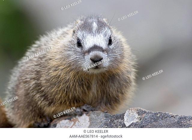 Yellowbellied Marmot (Marmota flaviventris) Baby, Yellowstone National Park, portrait, face