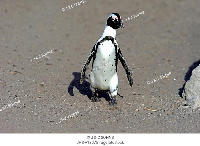 Jackass Penguin, African penguin, (Spheniscus demersus), adult walking at beach, Betty's Bay, Stony Point Nature Reserve, Western Cape, South Africa, Africa