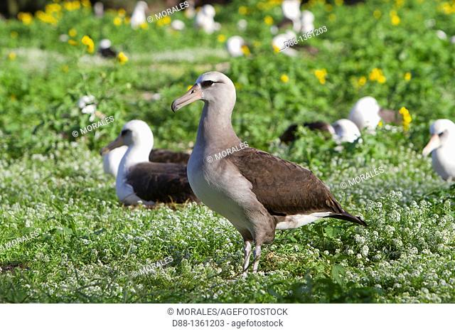 Hawaï , Midway , Sand Island , Laysan Albatross ,  Phoebastria immutabilis  crossed with Black-footed Albatross  Phoebastria nigripes