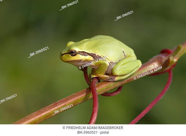 European Tree Frog (Hyla arborea) perched on a branch, Burgenland, Austria