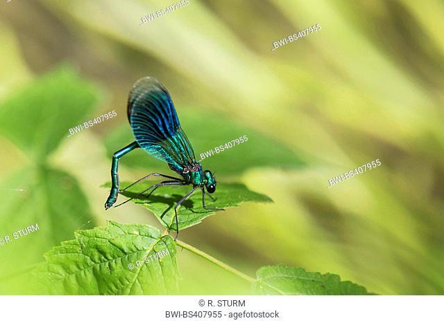 banded blackwings, banded agrion, banded demoiselle (Calopteryx splendens, Agrion splendens), male waving conspecifics, Germany, Bavaria