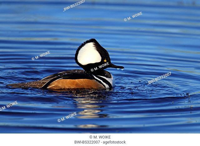 hooded merganser (Mergus cucullatus), swimming drake, USA, Florida