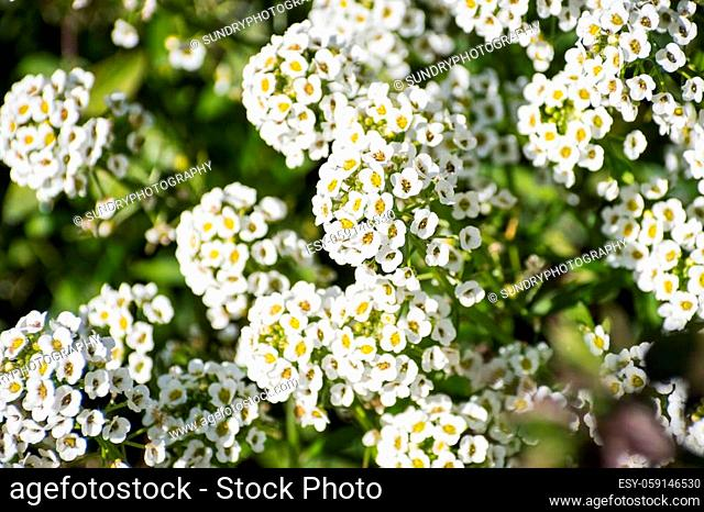 Close up of Alyssum flowers (Lobularia maritima), California; this flower is native to Europe and naturalized in other parts of the world