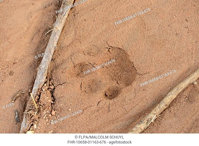 African Leopard (Panthera pardus pardus) pawprint in sand, Mathews Mountains, Kenya, October