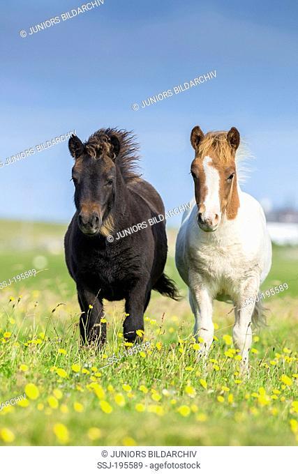 Shetland Pony Two foals standing on a flowering meadow Unst, Shetlands