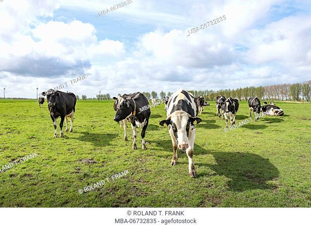 Germany, Lower Saxony, East Frisia, Krummhörn, Rysum herd of cattle on the pasture