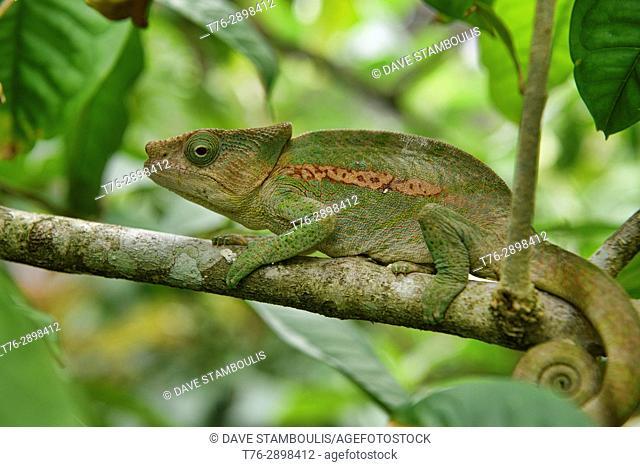 Globe-horned chameleon (Calumma globifer), Ranomafana, Madagascar