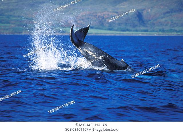 Humpback Whale calf Megaptera novaeangliae tail-lobbing near in the AuAu Channel, Maui, Hawaii, USA Pacific Ocean