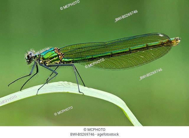 banded blackwings, banded agrion, banded demoiselle Calopteryx splendens, Agrion splendens, female sitting on a grass blade, Germany, North Rhine-Westphalia
