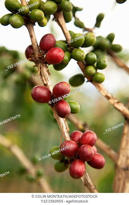 Coffee beans ripen on tree, Goroka, Eastern Highlands, Papua New Guinea