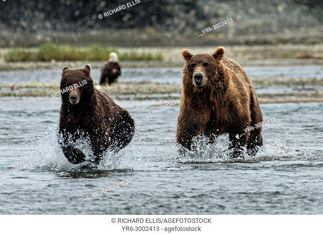 A brown bear adult chases a sub-adult bear away from his salmon fishing grounds in the lower lagoon at the McNeil River State Game Sanctuary on the Kenai...