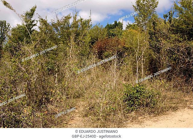 Physiognomy of Vegetation on Lajedo, Savanna, Boa Nova, Bahia, Brazil