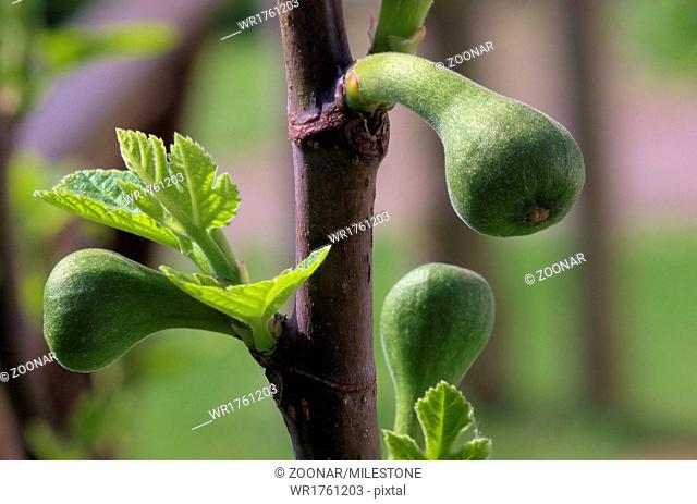 Young figs