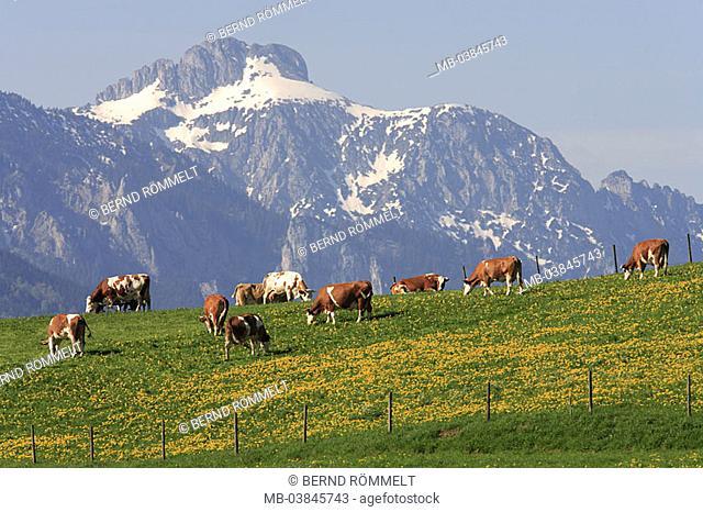 Germany, Bavaria, Allgäu, Tannheimer Alps, mountain-meadow, cows, spring, Southern Germany, Ostallgäu, king-corners, landscape, highland-shaft, mountains