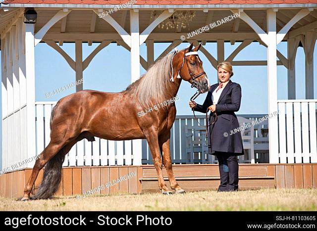 Tennessee Walking Horse. A woman holds the palomino stallion Custom Label in front of a typical building. USA