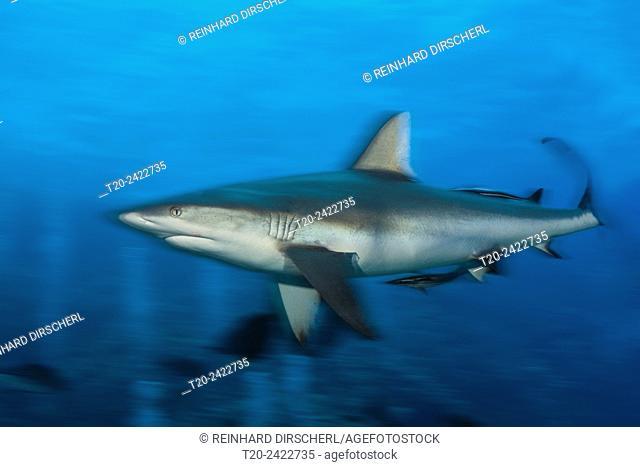 Grey Reef Shark, Carcharhinus amblyrhynchos, Osprey Reef, Coral Sea, Australia
