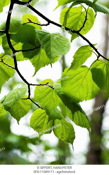 Delicate lime leaves on a tree Tilia Cordata