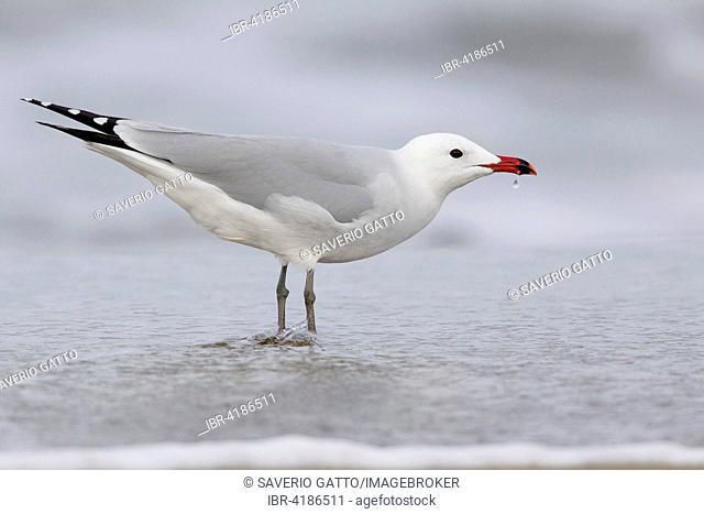 Audouin's gull (Ichthyaetus audouinii), standing, Campania, Italy