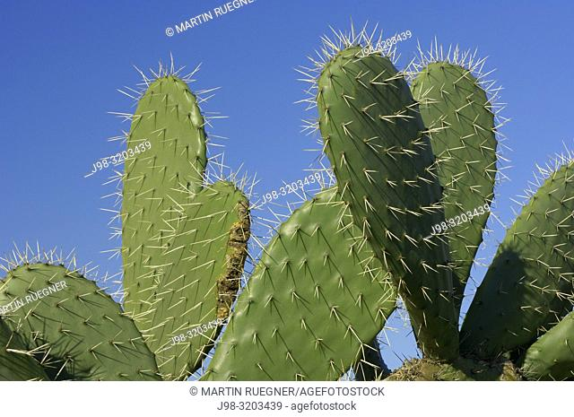 Prickly pear cactus (Opuntia spec. ) close up with thorns. Andalusia, Spain, Europe