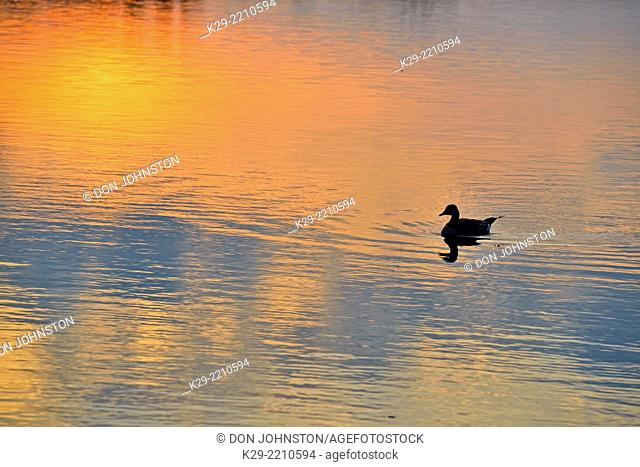 Waterfowl loafing on Lake Bailey at dawn, Petit Jean State Park, Arkansas, USA