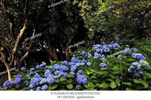 blooming, Hydrangea, rhododendron arboreum , Villa Carlotta ,botanic garden, Tremezzina , Como Lake, Lombardy, Italy