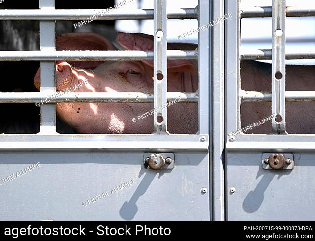 02 July 2020, Saxony-Anhalt, Weißenfels: A pig can be seen behind the barred window of an animal transport in front of Tönnies slaughterhouse in Weißenfels