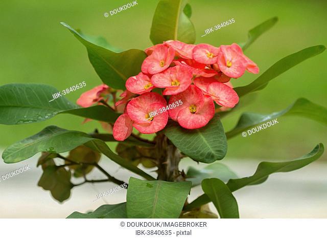 Crown of Thorns (Euphorbia milii), native to Madagascar