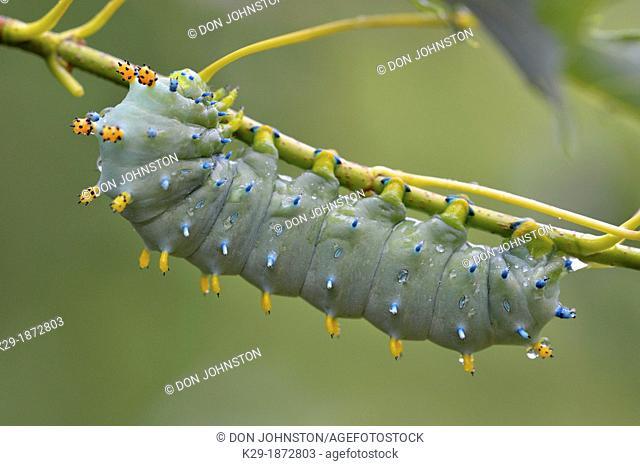 Cecropia moth Hyalophora cecropia Late instar caterpillar in Manitoba maple tree, Greater Sudbury Lively, Ontario, Canada