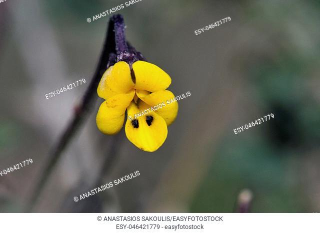 Viola scorpiuroides, Crete