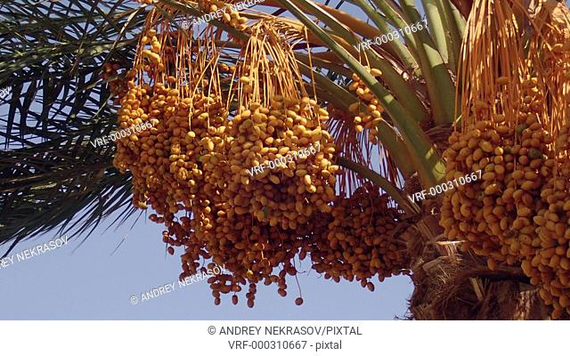 Ripe yellow fruits dates swaying to the wind on date palm on the blue sky background
