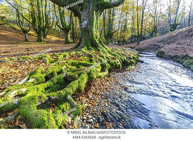 Otzarreta beechwood. Gorbea Natural Park. Bizkaia, Basque Country, Spain, Europe