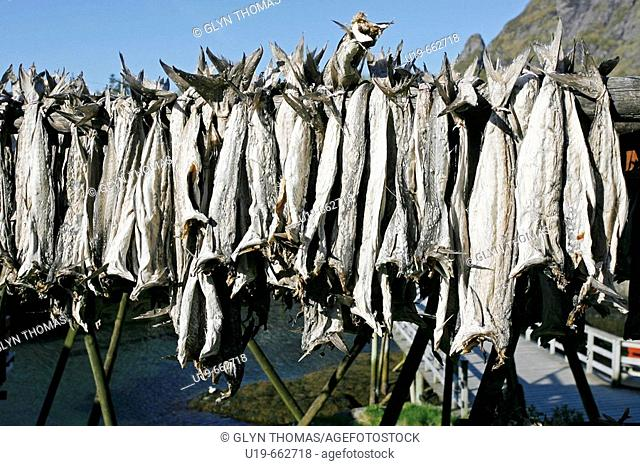 Cod drying, Lofoten Islands, Norway, Europe